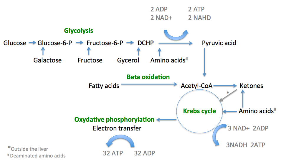 Summary of the three sections of cellular respiration